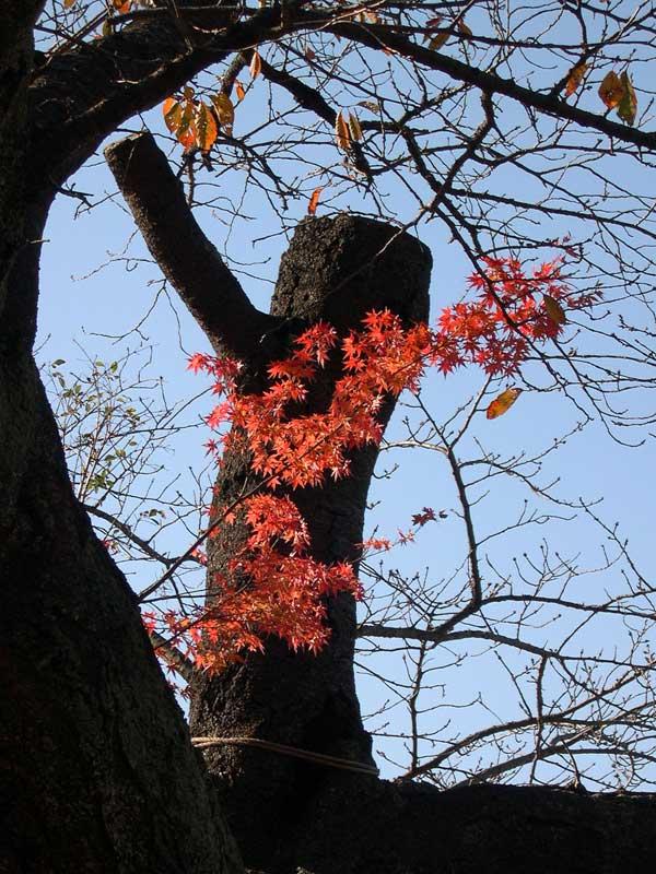 桜の枝の上に生えたもみじが紅葉していた