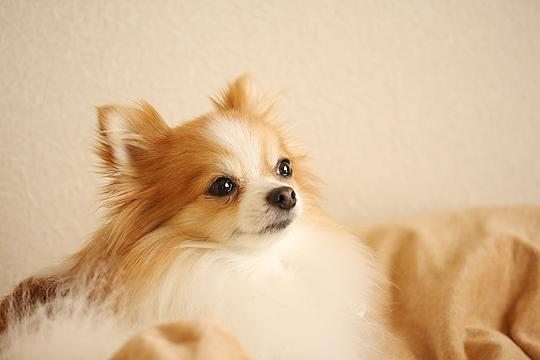 犬の膿皮症は完治します