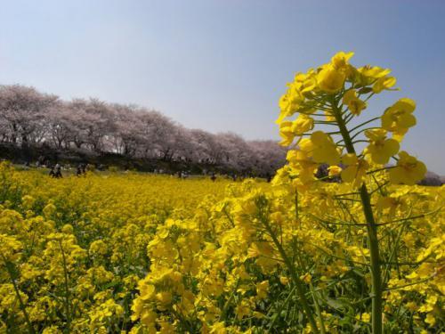 2010sakura03.jpg
