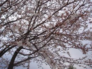 開花情報4月6日の1