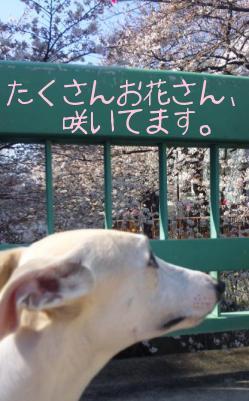 100327ShiroSakuraLookUp.JPG.jpg