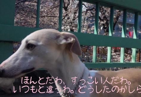 100327TamaSakura.JPG.jpg