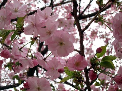 川口八重桜