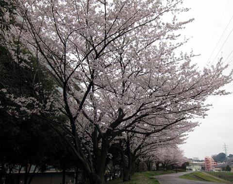 鶴見川桜1