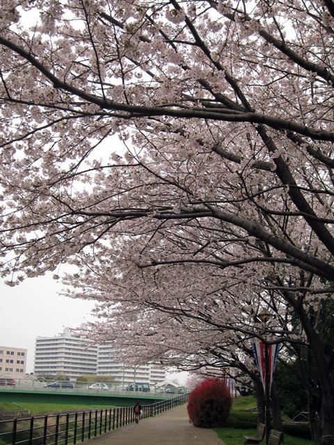 鶴見川桜4