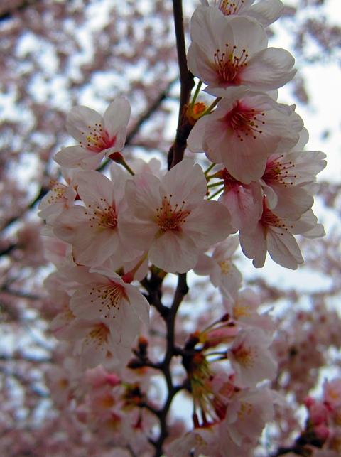 鶴見川桜6
