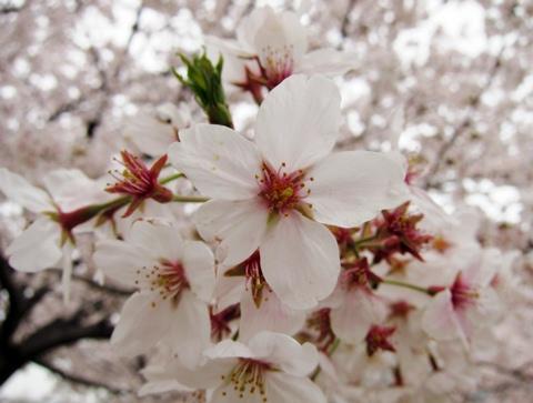 鶴見川桜7
