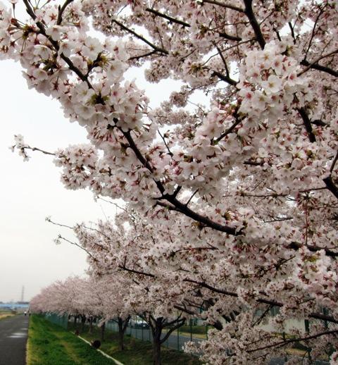 鶴見川桜8