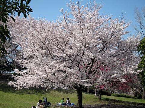 岸根公園桜1