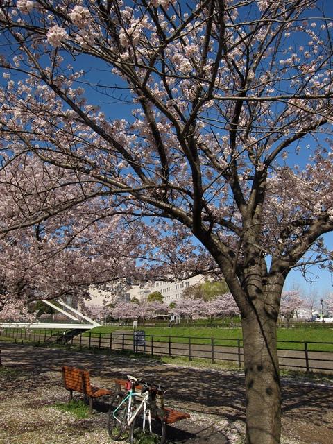 鶴見川桜と自転車