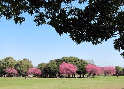 岸根公園桜7