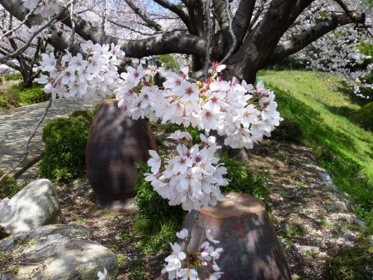 桜満開IMG0003