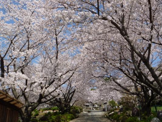 桜満開IMG0002