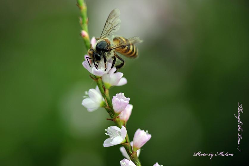 サクラタデとミツバチ1