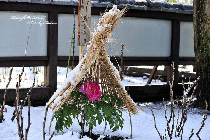 冬ぼたんY1