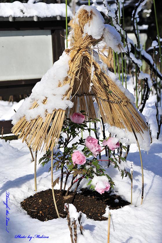 冬ぼたん11