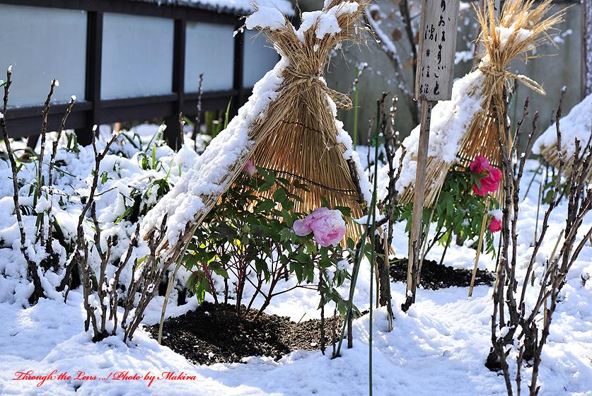 冬ぼたんY3