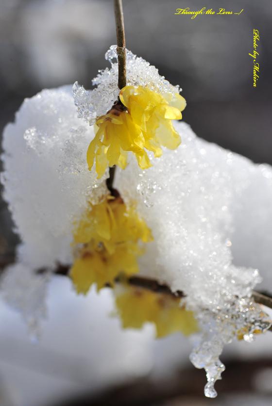 ロウバイに雪5