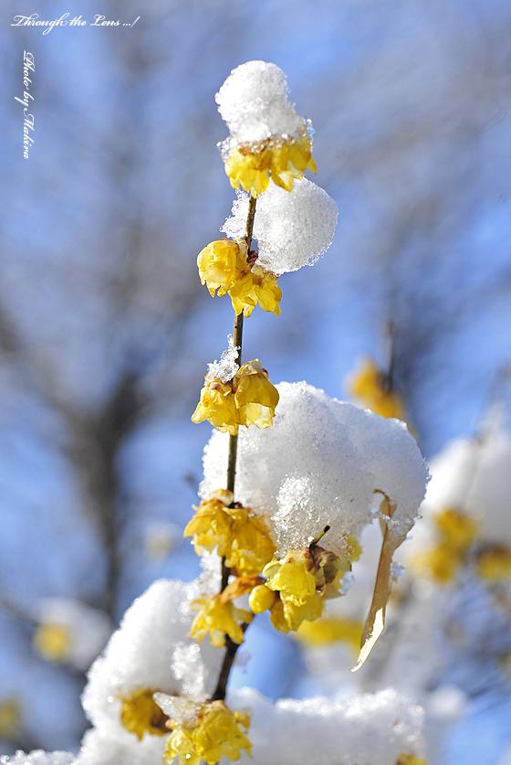 ロウバイに雪2