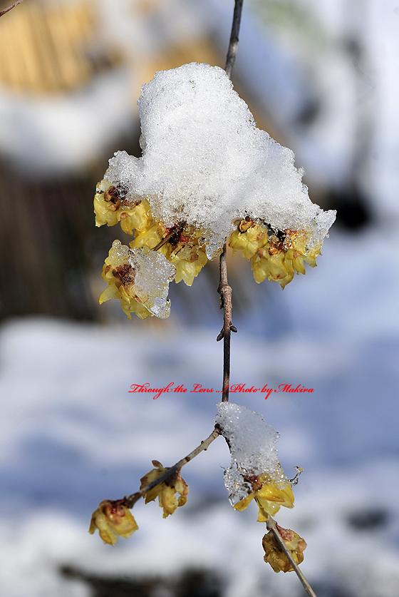 ロウバイに雪6