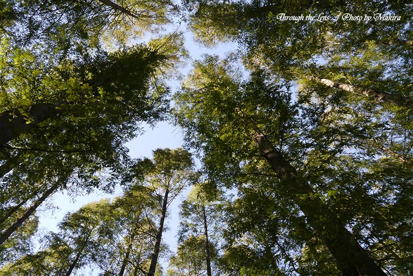 メタセコイアの森L1