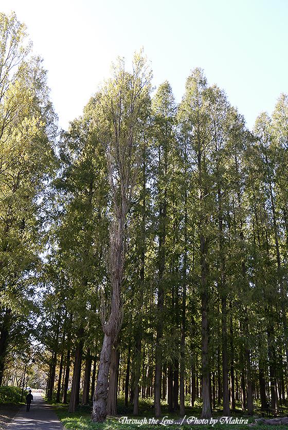 メタセコイアの森L2