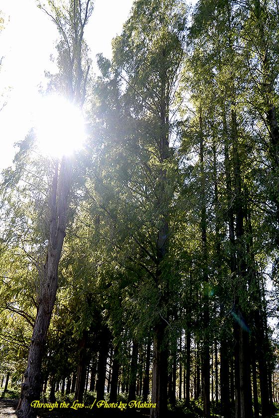 メタセコイアの森L3