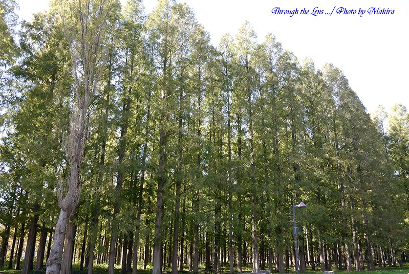 メタセコイアの森L4