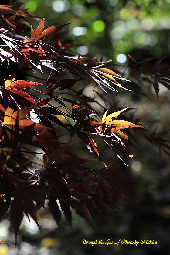 イロハモミジ(タキノガワ 瀧の川)3