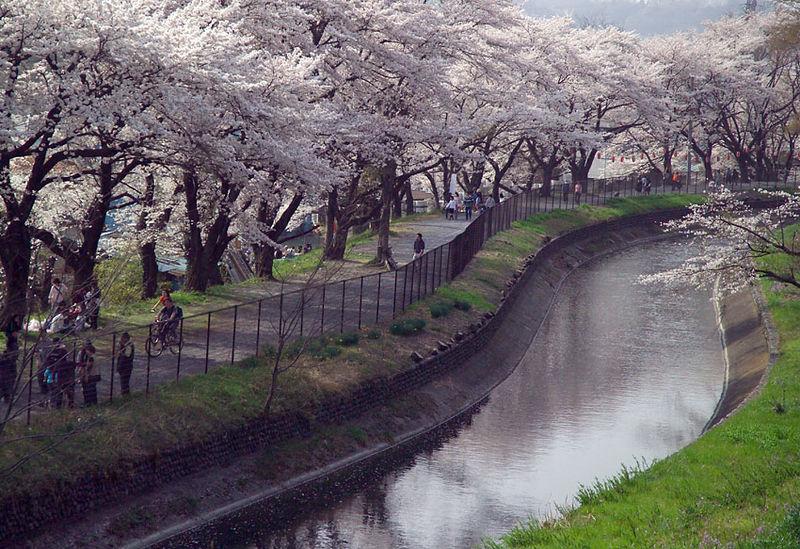 羽村市 玉川上水 桜満開