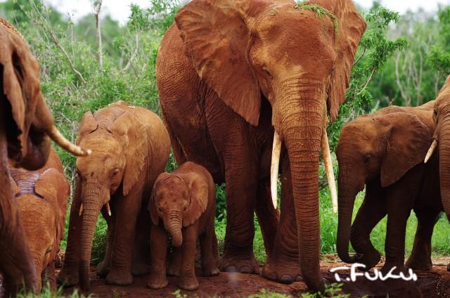 ツァボ国立公園・アフリカゾウの親子