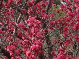春の葉山の梅の花