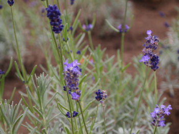 lavenda.jpg