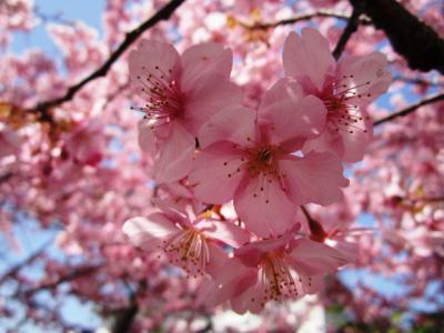 2012河津桜
