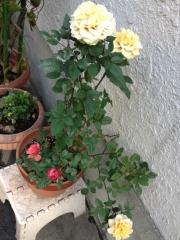 薔薇を切る