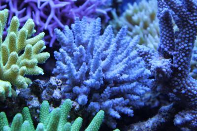 珊瑚9月26日撮影