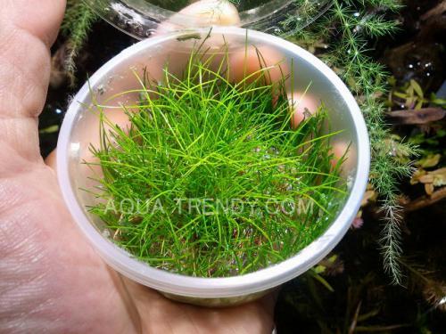 short hair grass