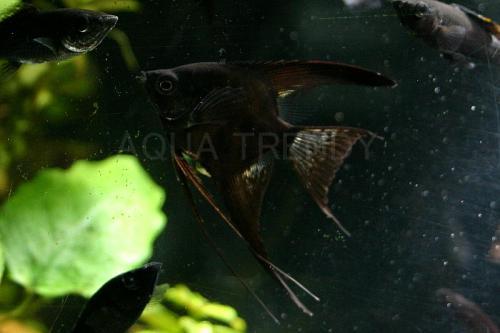 black engel