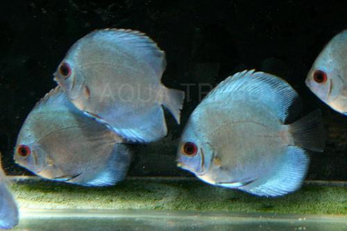 blue dinmond disucus