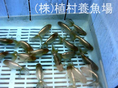 goldfish20120305_11.jpg