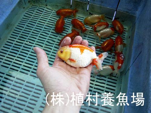 goldfish20120305_13.jpg