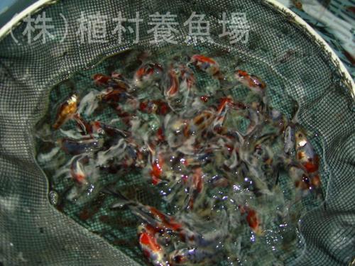 goldfish20120305_5.jpg