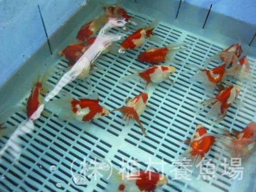 goldfish20120305_8.jpg