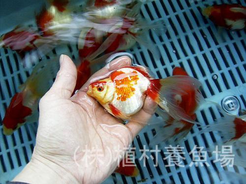 goldfish20120305_9.jpg