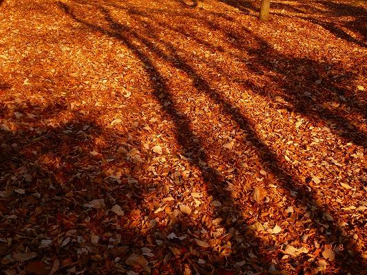 落ち葉の上に伸びる木の陰121208