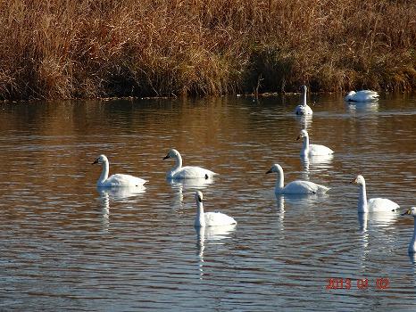 鮫川の白鳥130102