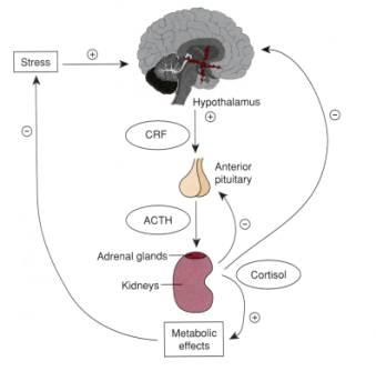 ししょうかぶー―下垂体ー副腎皮質