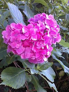 110826紫陽花のハート