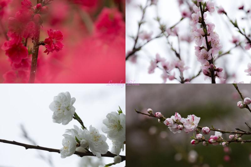 春花3のコピー
