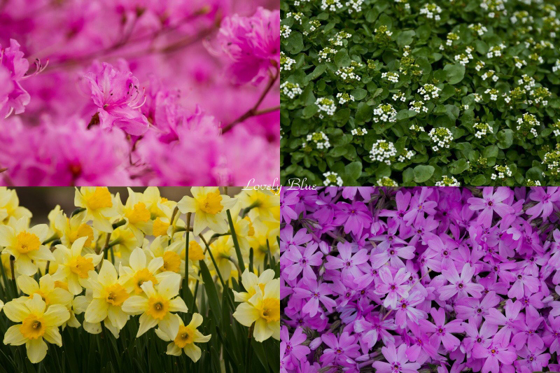 春花1のコピー